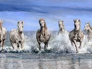 S13SPRING ASA AWARD 'Camargue Horses, Provence' by Mike Harrison